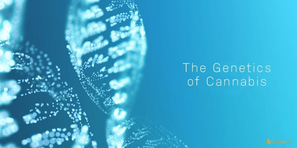 Indica and Sativa: Analyzing the Genetics of Cannabis